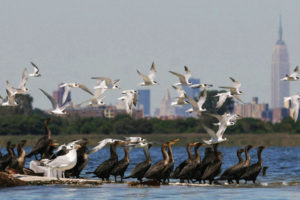Gulls flocking over the Jamaica Bay estuary